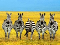 zebra going other way