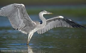 Hallelujah the Heron