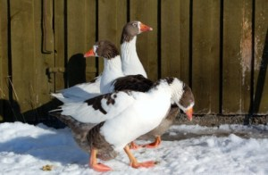 The Lovely Geese Brothers