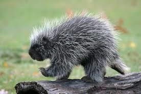 Peek-A-Boo the Porcupine