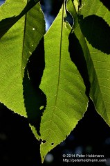 Shagbark Hickory Leaves
