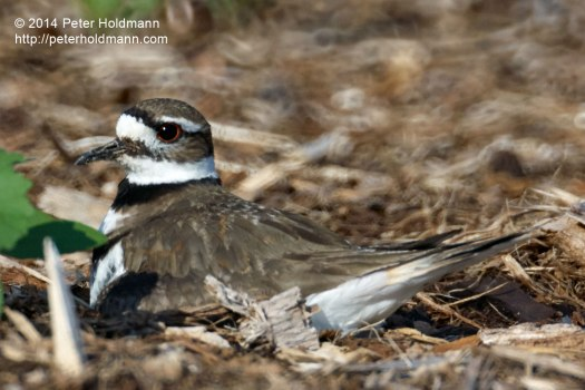 killdeer-DSC_0055