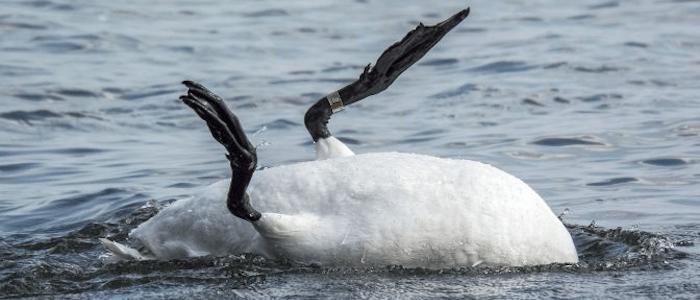 Not so serene swan...