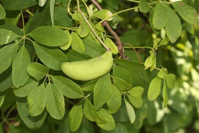 으름덩굴 열매