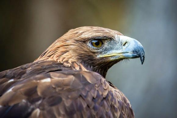 Adlerblick - Steinadler Nationalpark Hohe Tauern