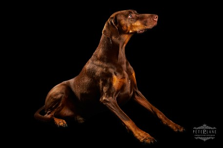 Dog photographer London - doberman dog