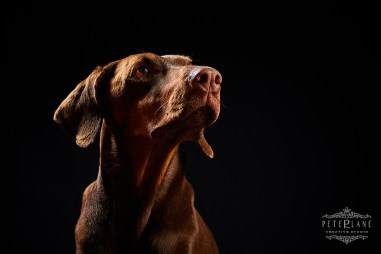 Pet photographer London - doberman dog