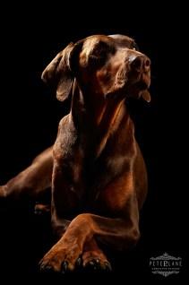 Pet photographer London - doberman dog