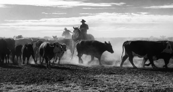 Cattle Muster - Clayton Station