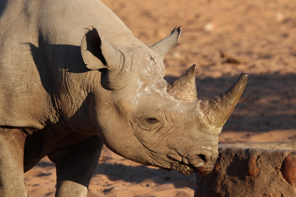 The Rhino Is Back! And an Angry Elephant Chases a Hyena