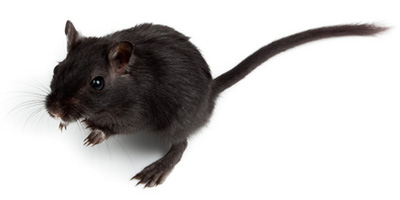 Gerbils are usually very healthy with few health problems. A safe and ...