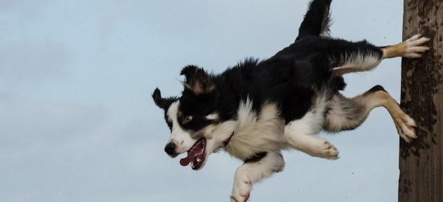 pas-skače