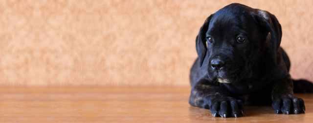 crni-pas-labrador