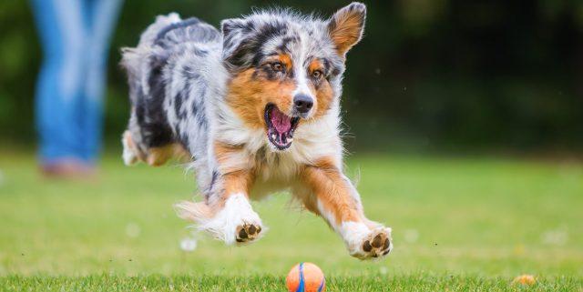 australijski-ovčar-pas