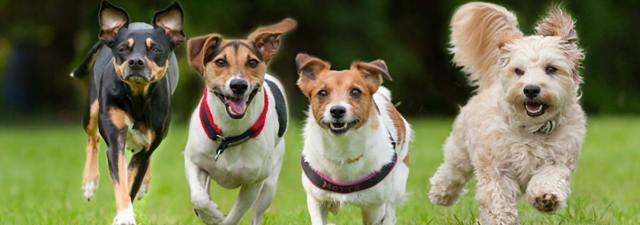 psi-trče-četiri-psa