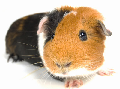 Image result for guinea pig images