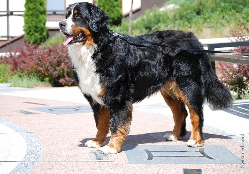 Bernese Zennenhund.