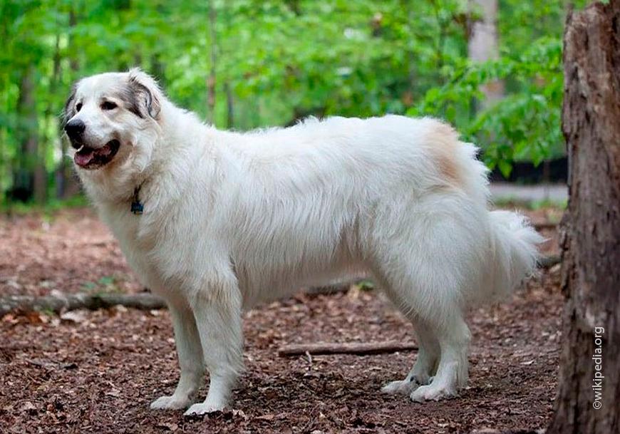 Anjing gunung Pyrenean