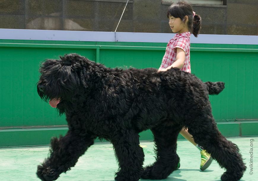 Rusia Hitam Terrier.