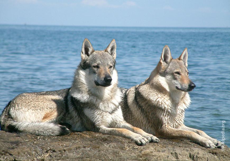 Perro de lobo checoslovaco