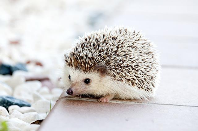 ハリネズミをペットとして飼育したい!値段や寿命は?