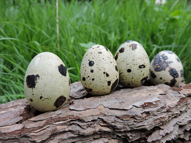 うずらの卵を孵化させる方法!スーパーのうずら卵でもOK?