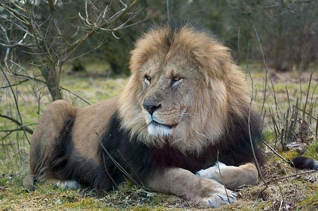 ライオンの種類は実はこんなに多い!?生息地も!