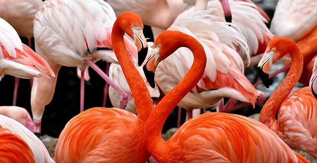 フラミンゴの生態は!?色がピンクなのはなぜ?