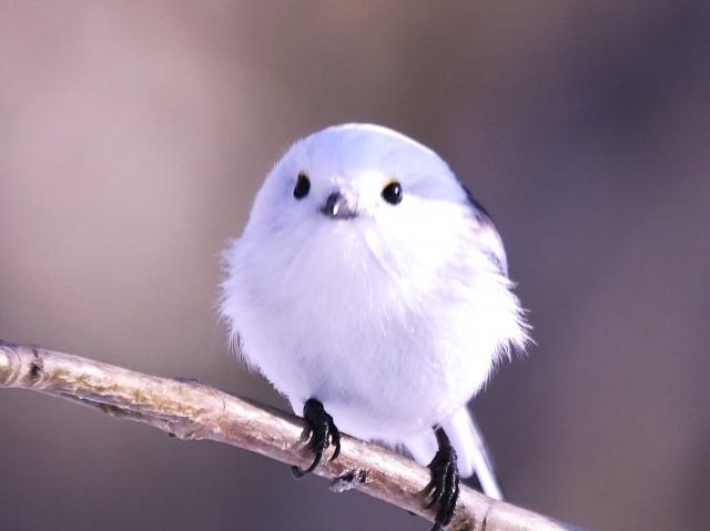 シマエナガという鳥がかわいい!鳴き声は?飼育はできる?