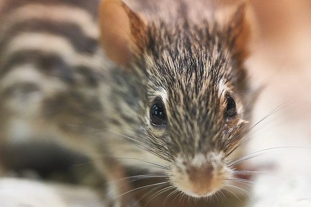 ゼブラマウス