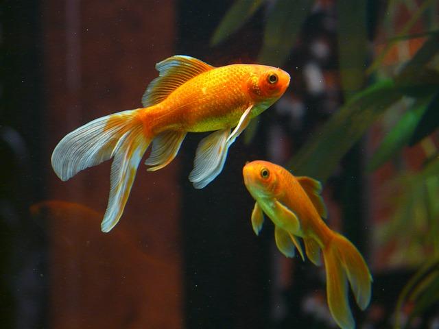 金魚を死なせず上手に飼育する重要なポイントとは!?