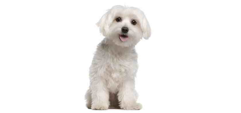 Maltese-Dog-Insurance