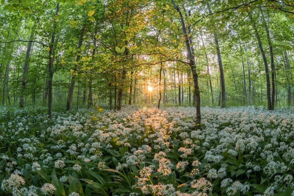 Randonnées gourmandes du printemps : l'ail des ours en fleurs