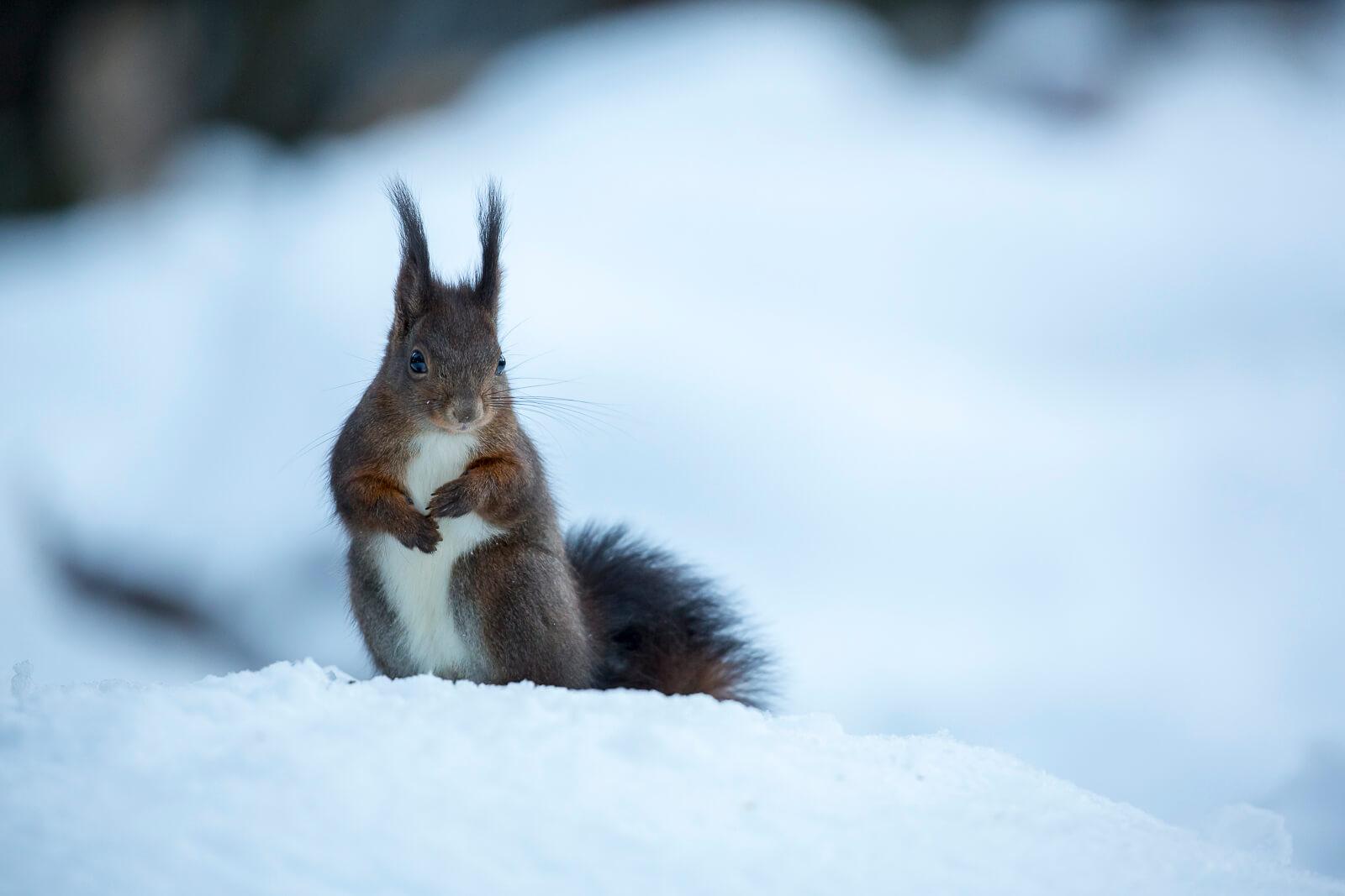Écureuil roux dans la neige