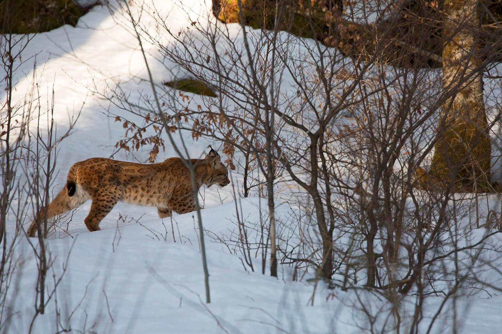 Le lynx, seigneur de la forêt