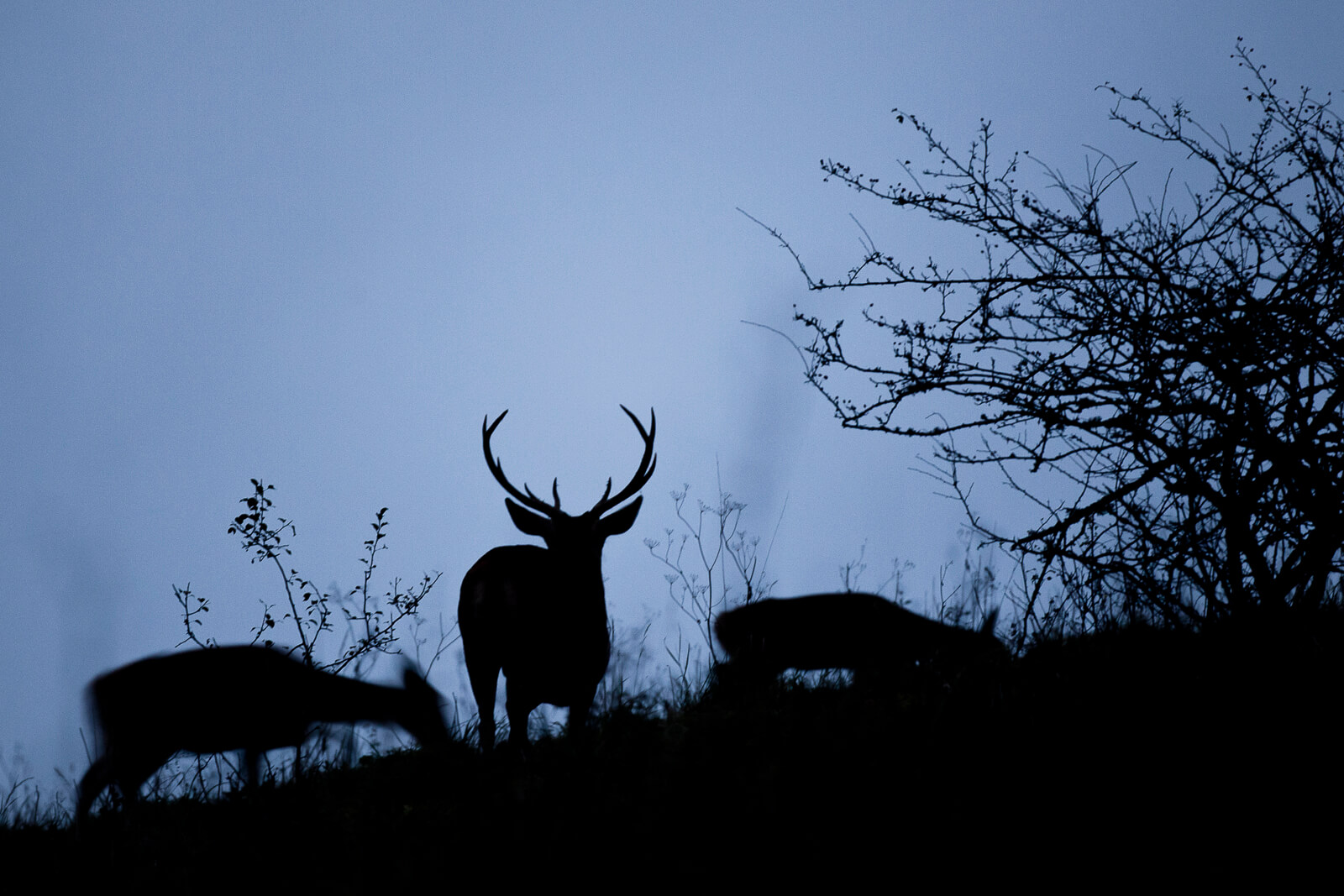 Voir des animaux sauvages en France - silhouette de cerf et biches