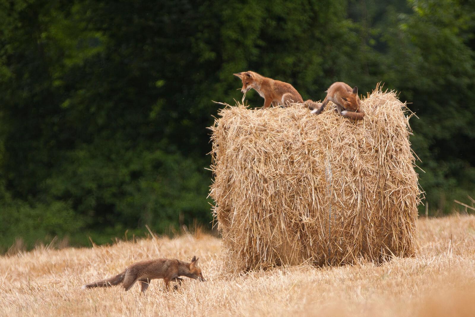 Voir des animaux sauvages en France - renards