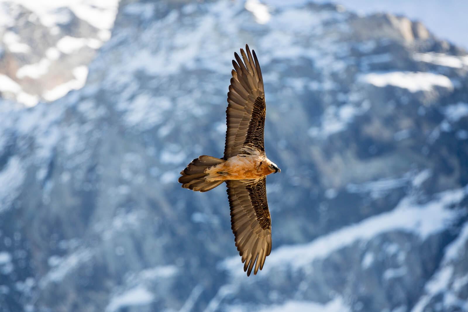 Gypaète en vol montagne Les Deux Alpes