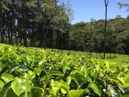 Loolecondera Tea Estate Sri Lanka