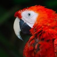 Quelle est la durée de vie d'un perroquet ?
