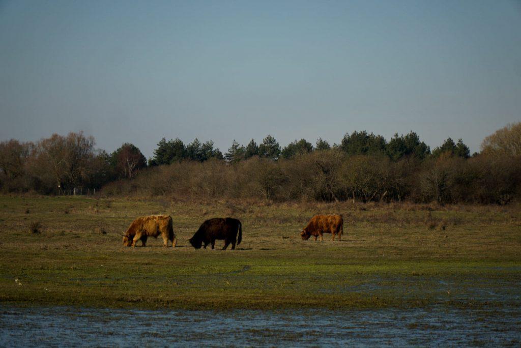 vaches écossaises dans le marais