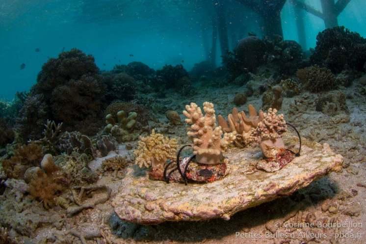 """Boutures"" de corail. Coral Eye, Bangka Island. Sulawesi, Indonésie. Mars 2013."