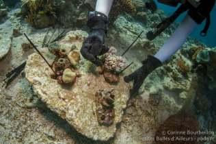 """Clara fixe de nouvelles """"boutures"""" de corail. Coral Eye, Bangka Island. Sulawesi, Indonésie. Mars 2013."""