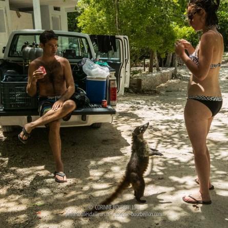 Coati. Mexique, juillet 2014.