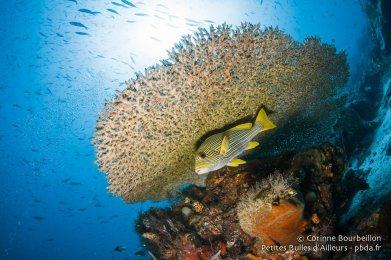 Gaterin solitaire sous une table de corail. Raja Ampat, Papouasie occidentale, Indonésie, janvier 2015.