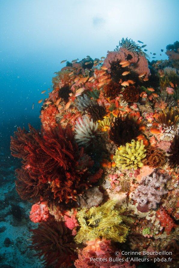 Des coraux pleins de vie à Gili Sarang. (Belongas, Lombok, juillet 2015.)