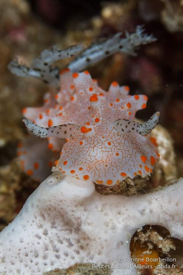 Ce nudibranche se prend pour un taureau ! (Sekotong Bay, Lombok, Indonésie, juillet 2015.)