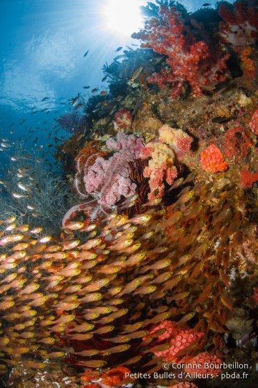 Une nuée de poissons de verre. (Triton Bay, Papouasie occidentale, Indonésie, mars 2016.)