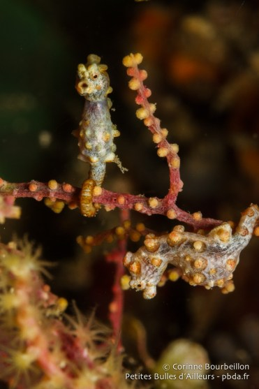 Hippocampes pygmées bargibanti. (Triton Bay, Papouasie occidentale, Indonésie, mars 2016.)