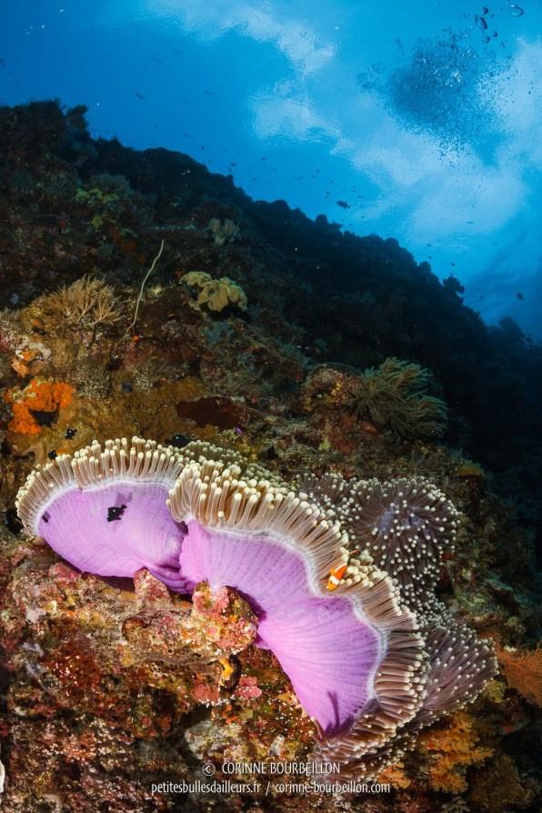 Le courant soulève la jupe rose d'une anémone, où vit une famille de poissons clowns... (Tubbataha, Philippines, mai 2018)